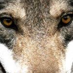 El Museu dels Volcans mostra la presència del llop a la Garrotxa