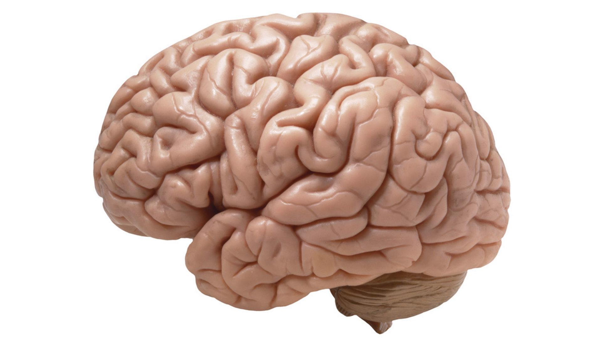 Com es veu el cervell humà amb el microscopi?