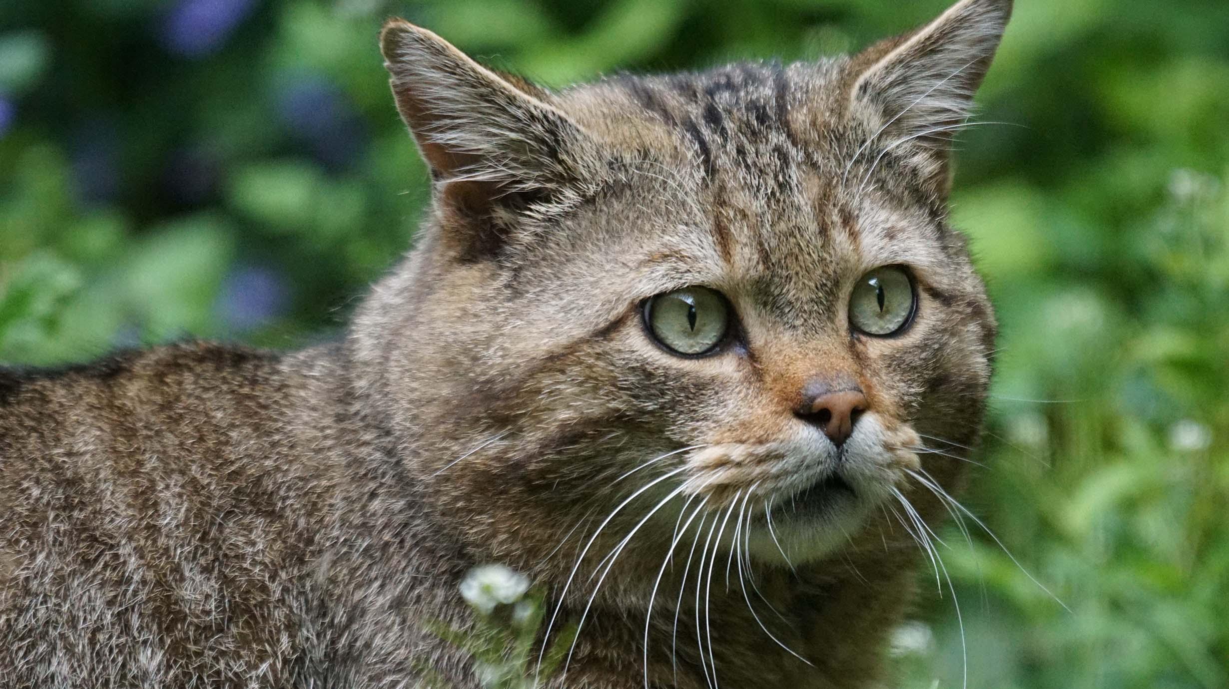 El gat fer a l'Alta Garrotxa: Quin és el seu estat poblacional i genètic?